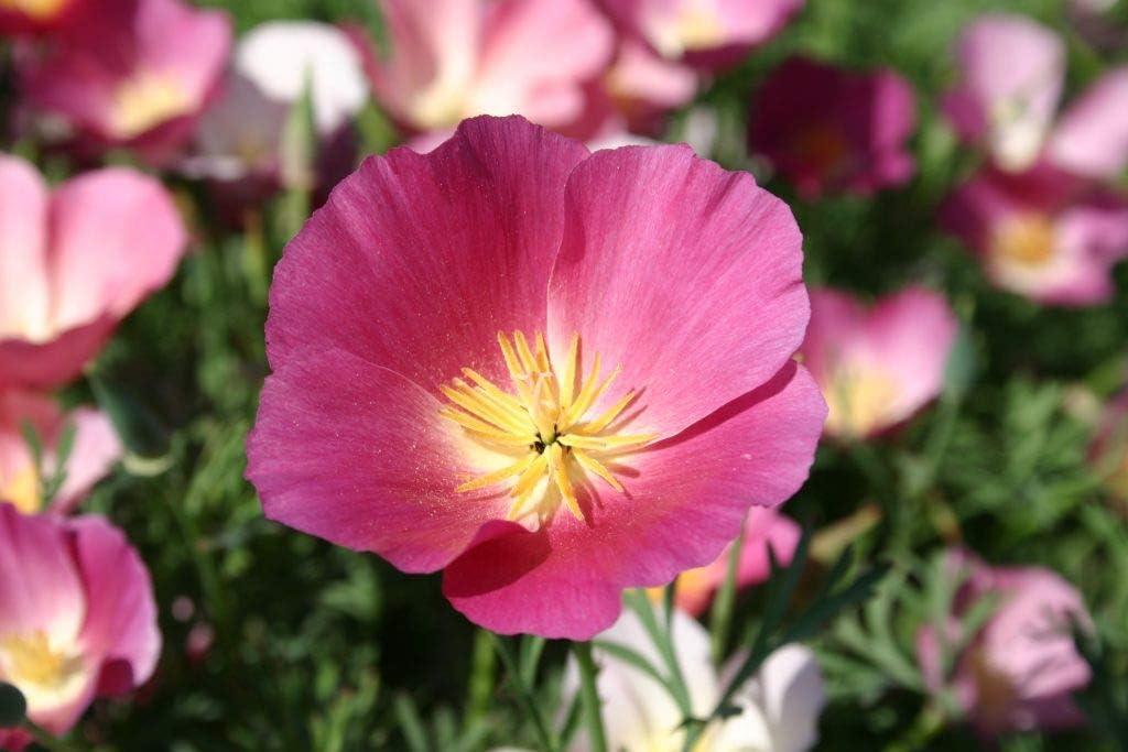 California Purple Gleam Poppy Flower Seeds, 1000 Heirloom Seeds Per Packet, Non GMO Seeds