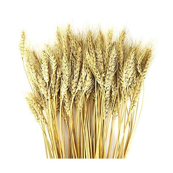 Oruuum 100PCS Golden Dried Natural Wheat Sheave Bundle, Wheat Bundle Dry Grass Bouquet Premium Fall Arrangements DIY Home Kitchen Table Wedding Flower Bouquet Centerpieces Decorative