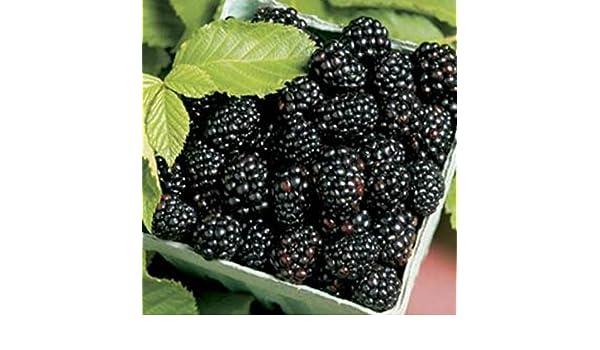 GMO Free /& Organic Thornless Fruit Berry Arapaho 2 Blackberry Plants