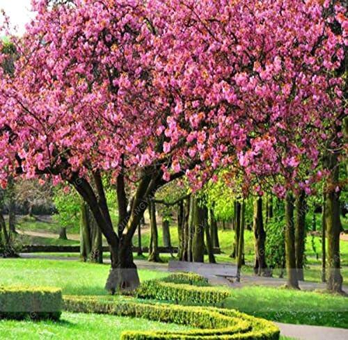 20 PC / bolso Semillas japoneses Sakura árbol bonsai flor de cerezo libre de envío ornamental planta perenne Flores Jardín Verde: Amazon.es: Jardín