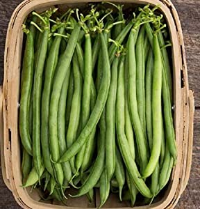 David's Garden Seeds Bean Pole Seychelles 4343 (Green) 100 Non-GMO, Heirloom Seeds