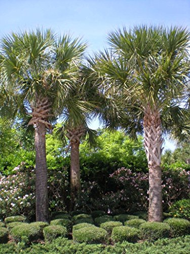 5 Cabbage Palm Tree - Sabal Palmetto Seedlings Durable Tropical by Eternal Cover