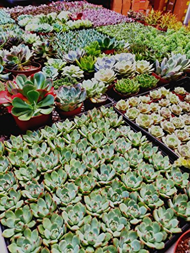 Fat Plants San Diego Mini Rosette Succulent Plants in Growers Pots by Fat Plants San Diego (Image #2)