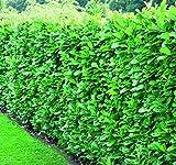 Prunus Rotundifolia Cherry Laurel Hedging Plants 2ft Pack of 10 Supplied in 2 Litre Pots