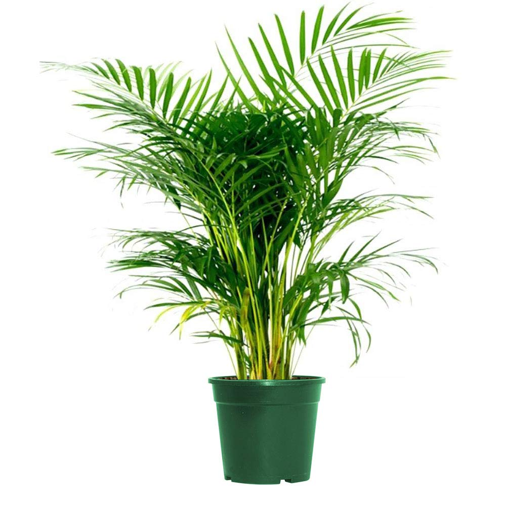AMERICAN PLANT EXCHANGE Areca Palm Indoor/Outdoor Live Plant 1 Gallon Clean Air of Toxins!