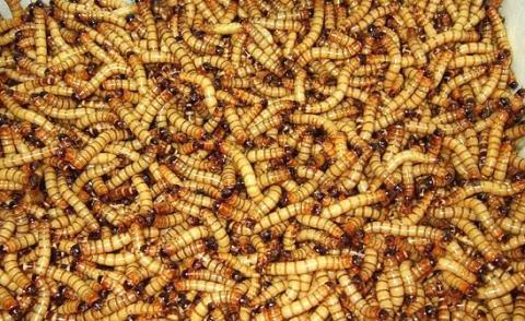 Make Superworm Bedding