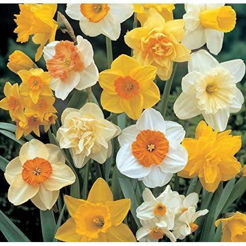 "Top (5) Perennials ""Supreme Daffodil Mix"" New Flower Bulbs supplier"