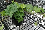 Fresh Live Deep Green Hedera Ivy, Trailing Ivy 4″ Potted Plant Review