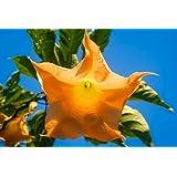 Engelstrompete Orange Glory 5 Samen (Brugmansia) 25 cm große Blüten.