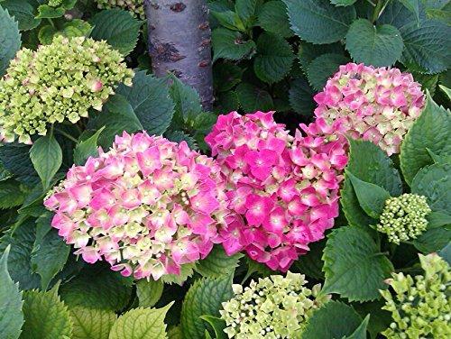 Green's Gardens Rare Heirloom 20 Hydrangea Seeds Four Seasons Evergreen Flower Seeds Look Good Year Round Garden