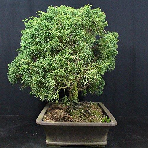 Chinese Juniper, Juniperus chinensis, Outdoor-Bonsai, 26