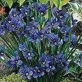 Blue-eyed Grass (Sisyrinchium Bellum) - 100 Seeds-perennial Bloom April -August