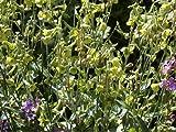 Tobacco Plant 'Sensation Mix' (Nicotiana Alata Link et Otto) Flower Plant Seeds, Annual Heirloom