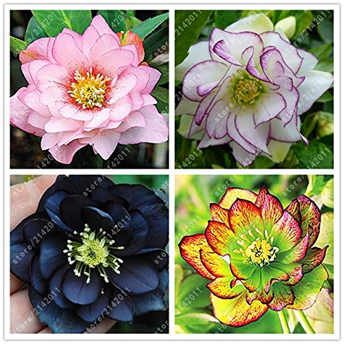 New Arrival! 100PCS/BAG helleborus seeds Winter Rose flower grow in Winter rare flower seeds outdoor plant for home garden - Arcis New