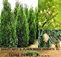 Incense Cedar Tree Seeds - Calocedrus decurrens - AROMATIC SCALE-LIKE LEAVES - Prized For FRAGRANT Foilage - ZONES 6 - 8 - Tree Seeds from Flora Power by Red Pine, Inc.