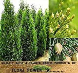 Incense Cedar Tree Seeds - Calocedrus decurrens - AROMATIC SCALE-LIKE LEAVES - Prized For FRAGRANT Foilage - ZONES 6 - 8 - Tree Seeds from Flora Power by Red Pine, Inc. (20 Seeds - Pkt. Size)