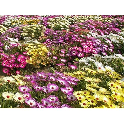 Image of All Colorful Mixes Seed Selection Rainbow Colors Many Choices Wild Flower Blends (Iceplant (Livingstone Daisy) Mix:4 Mill Seeds=1lb)