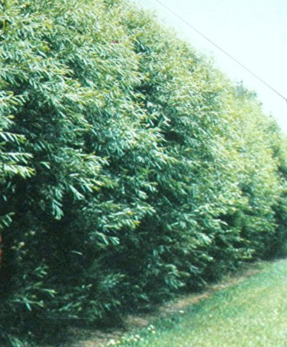 50 Hybrid Willow Trees. Austree grows 12 foot 1st year. Fastest growing tree. Rapid growth