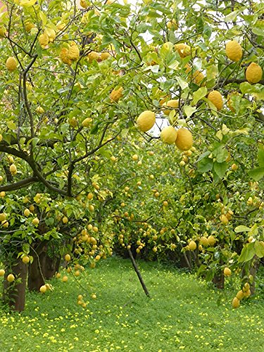 Lemon Grove Sorrento, Italy Laminated Poster
