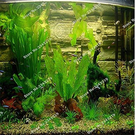 1Bag una 200pcs semilla rara acuario Planten musgo de Java hierba Semillas de plantas acuáticas Raros Aquario Fish Tank regalos Hogar y jardín Plantas 1: ...