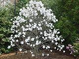 Royal Star Magnolia Tree - Live Plants Shipped 1 to 2 Feet Tall