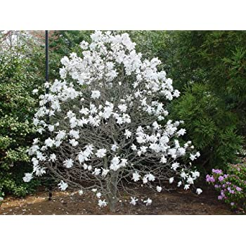 Amazoncom Royal Star Magnolia Tree Live Plants Shipped 1 To 2