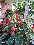 "Red ""Angel Falls"" Tuberous Angel Wing Begonia Seeds HANGING BASKET PLANT"