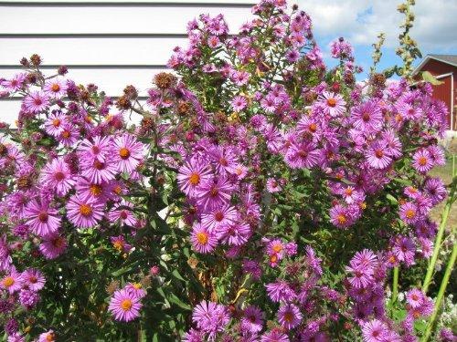 100 ROSE NOUVELLE-ANGLETERRE ASTER Aster novae var Angliae Graines de fleurs