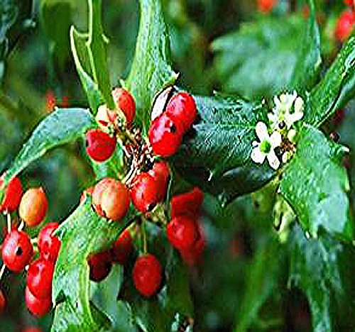 - BIG PACK - American Holly Ilex Opaca Seeds (300+) - Zones 5-9 - Christmas Tree & Decoration - By MySeeds.Co