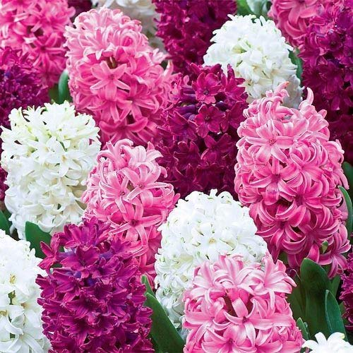 6 Royal Trio Hyacinth Bulbs Quality Blooming Size 12-17 cm Fall Planting by thecountrygardenshop