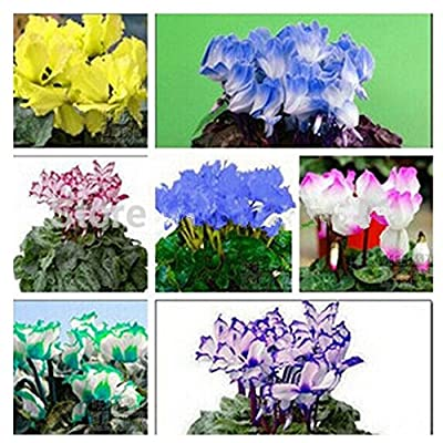 100pcs 12kinds Cyclamen Seeds, Potted Seed, Flower Seed, Variety Complete, budding Rate 95%, radiation Absorption (Mixed Colors) : Garden & Outdoor