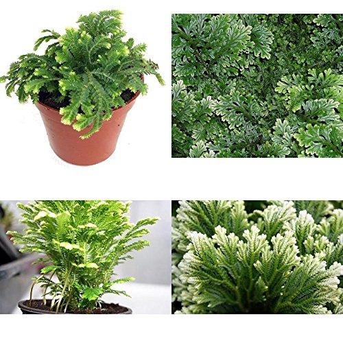 SS0144 Frosty Fern Spike Moss Exotic Plant Selaginella Easy to Grow 2.5