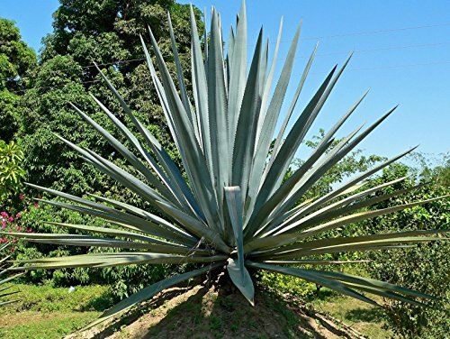 Agave tequiliana - The Tequila or Blue Agave - Seeds