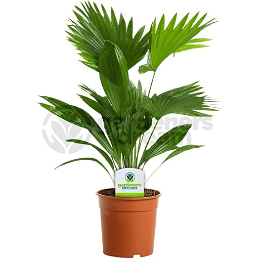 Livistona - 1 Plant - House / Office Live Indoor Pot Potted Fan ...