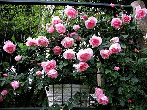 Climbing Rose Mme Gregoire Staechelin AKA Spanish Beauty Scented Pink Bare Rooted Free DELIVERY