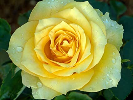 Nelesa gardening live yellow rose plant yellow rose grafted plant nelesa gardening live yellow rose plant yellow rose grafted plant in plastic pot 1 mightylinksfo