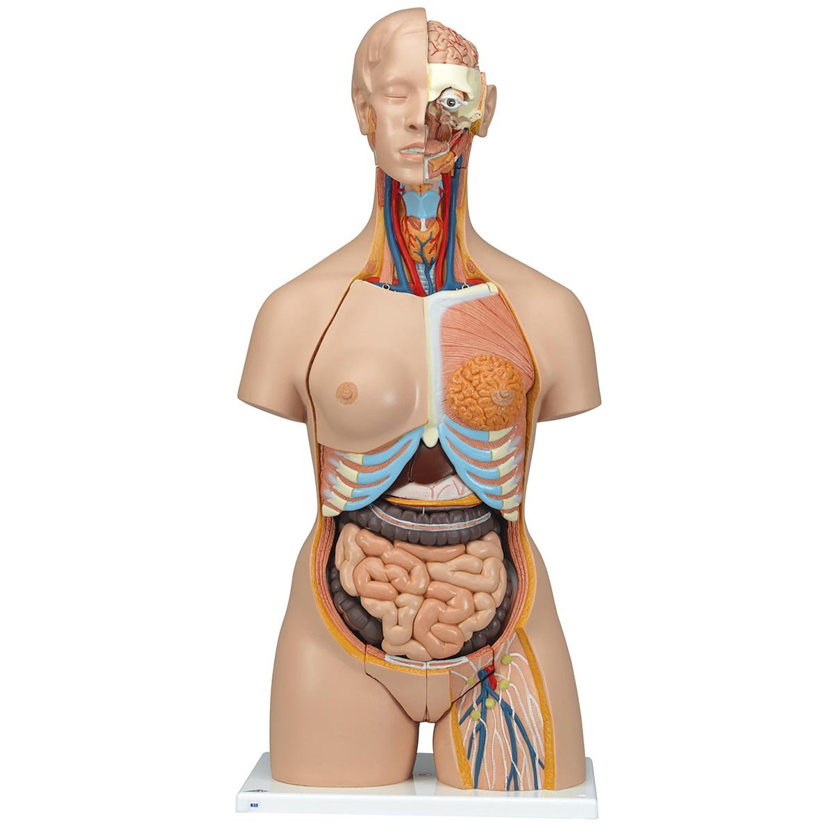3B Scientific Menschliche Anatomie - Geschlechtsloser Standard-Torso, 12-teilig 3B Scientific GmbH B09