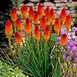 Afco 50Pcs Beautiful Red Hot Poker Torch Lily Flower Seeds Garden Plant Review