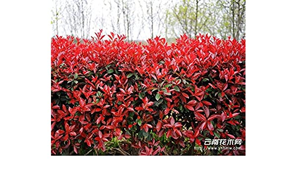 Pack of 6 Evergreen Photinia Red Robin Plants