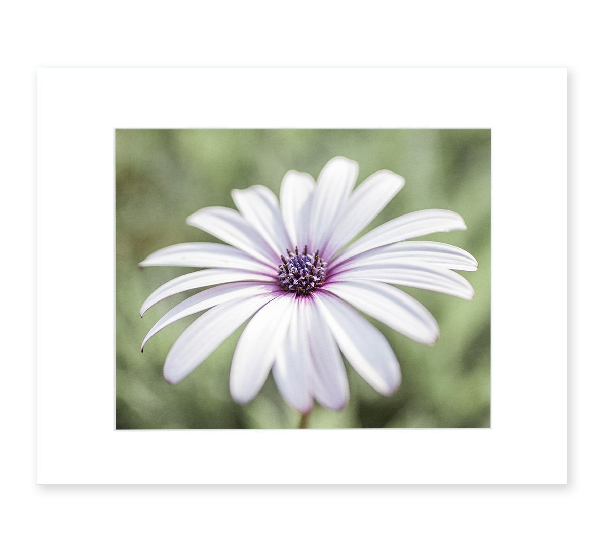 White Daisy Flower Wall Art, Country Cottage Floral Botanical Decor, Girls Bedroom Picture, 8x10 Matted Photographic Print (fits 11x14 frame), 'Pure Daisy'