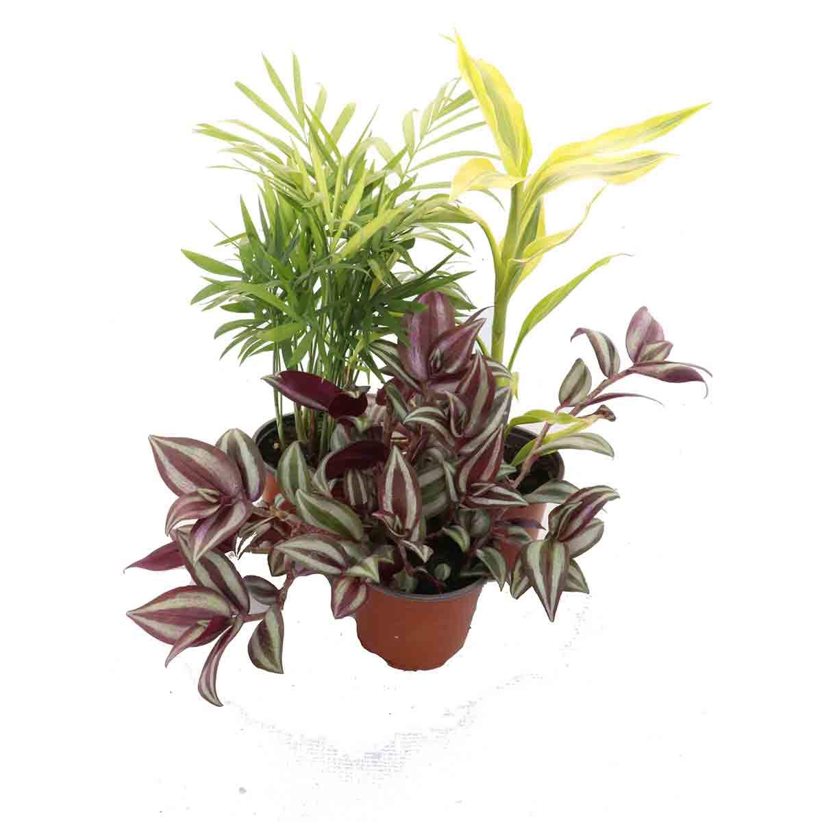 3 Pack of Fantastic House Plants - Chameadorra, Dracena Yellow, Tradescantia Newlands Nursery