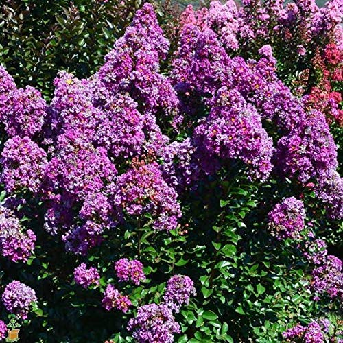 Purple Magic Dwarf Crape Myrtle - Live Plant - Full Gallon Pot