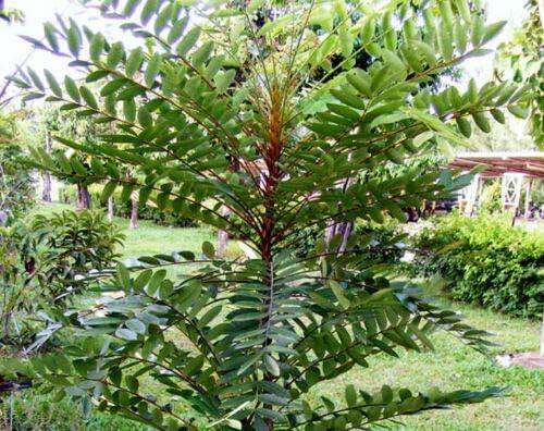 Eurycoma Longifolia Jack Pasak Bumi 10 Seeds Tongkat Ali Very Rare Herb