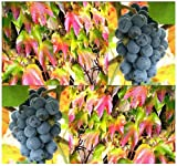 20 AMUR GRAPE – Vitis amurensis Seeds FLOWERING VINE – GORGEOUS FALL COLORS – Grows In Semi-Shade – Zone 4+ Review