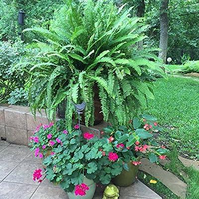 AMERICAN PLANT EXCHANGE Kimberly Queen Fern Live Plant, 3 Gallon, Indoor/Outdoor Air Purifier : Garden & Outdoor