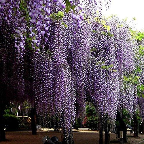 Wisteria Flower Seeds - BESTGIFT 20Pcs Outdoor Ornamental Plants Seeds Amethyst Falls Wisteria Vine Live Plant