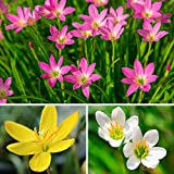 Zephyranthes Summer Sunrise Mix - 12 Large Bulbs - Mixed Rain Lily Bulbs | Ships from Easy to Grow