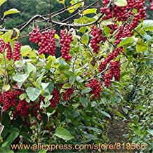 Chinese Schisandra Chinensis Tree Seeds Traditional Health Herbal Plants Medicine Wu Wei Zi Sementes