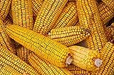 10 lb seeds yellow dent corn seeds