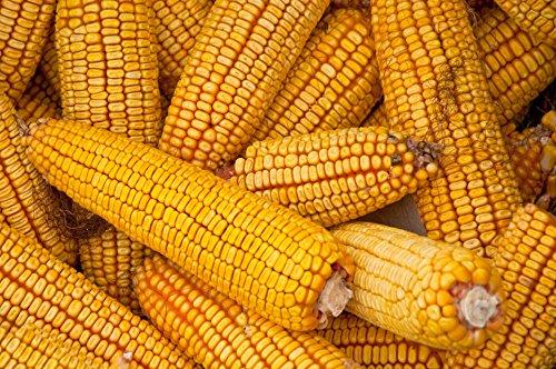 10 lb seeds yellow dent corn seeds by Andryani_alin2